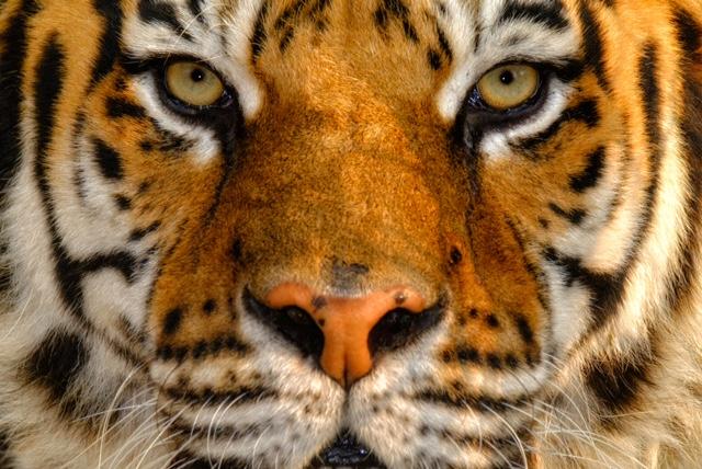 Simone Sbaraglia - Tigre del Bengala